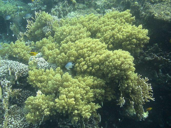 Коралл-брокколи Lithophyton arboreum зелёный
