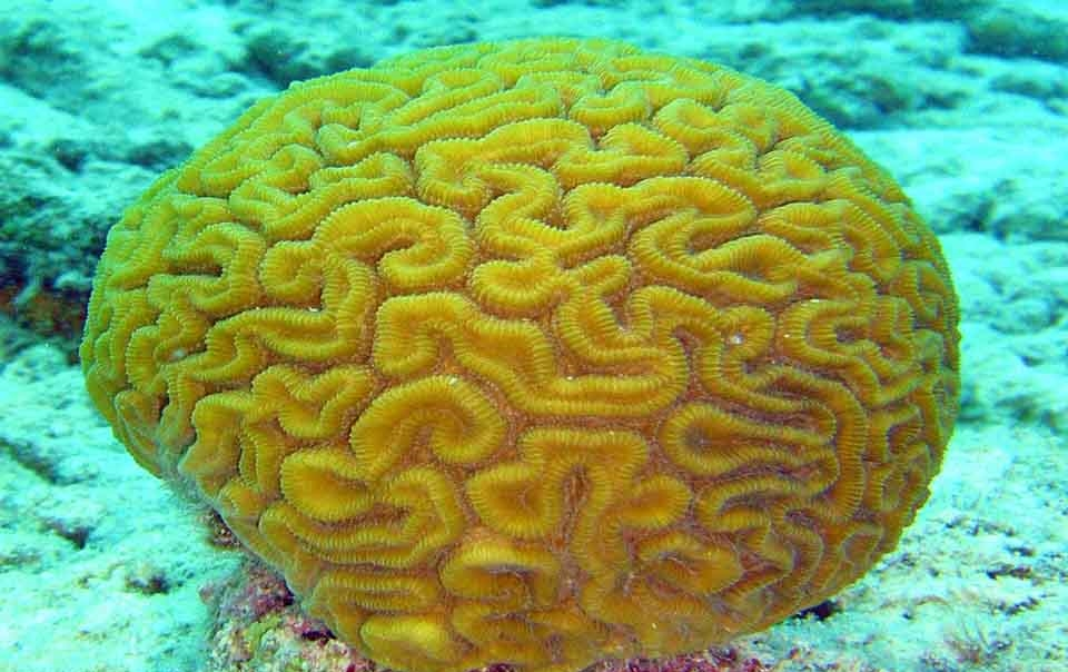 Коралл мозговик