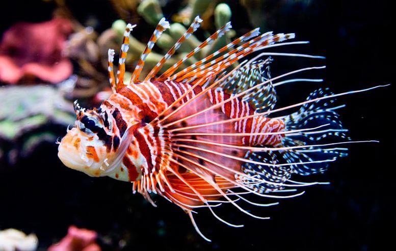 Антенновая рыба-крылатка