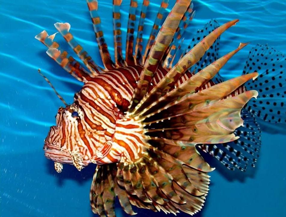 Рыба-крылатка