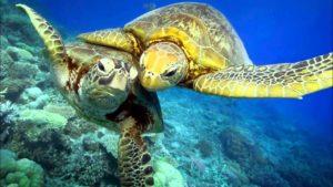 Расцветка зелёной черепахи