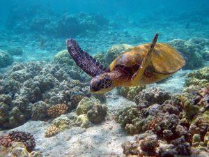 Верхняя челюсть зелёной черепахи не имеет загнутого вниз клюва